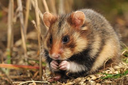 Afbeeldingsresultaat voor Europese hamster