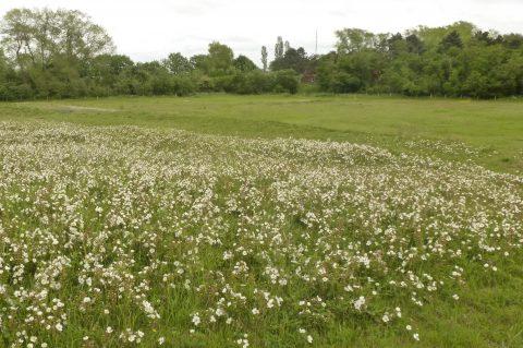 FLANDRE oostvoorduinen Rosa pimpinellifolia_fluithoek_P1020845
