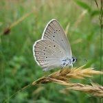 Maculinea teleius 8, Pimpernelblauwtje, Saxifraga-Arthur van Dijk